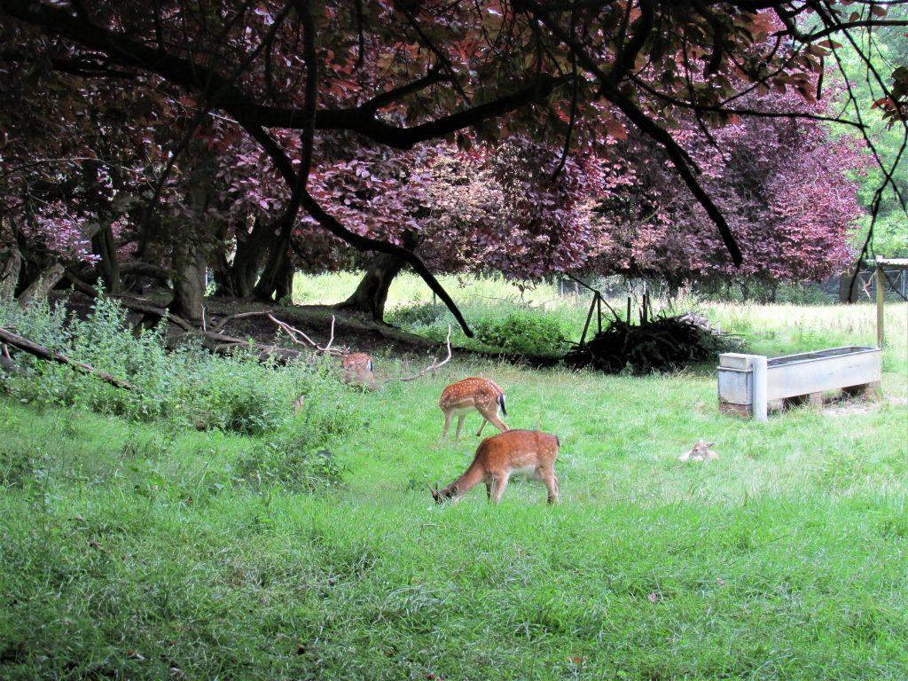 Alexandra_Park_deers