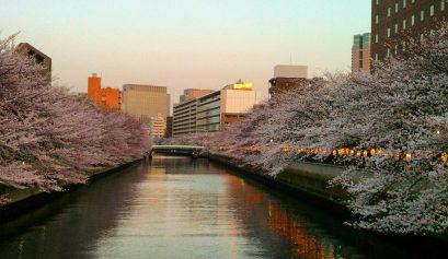 Alla volta del Giappone_ciliegi in fiore