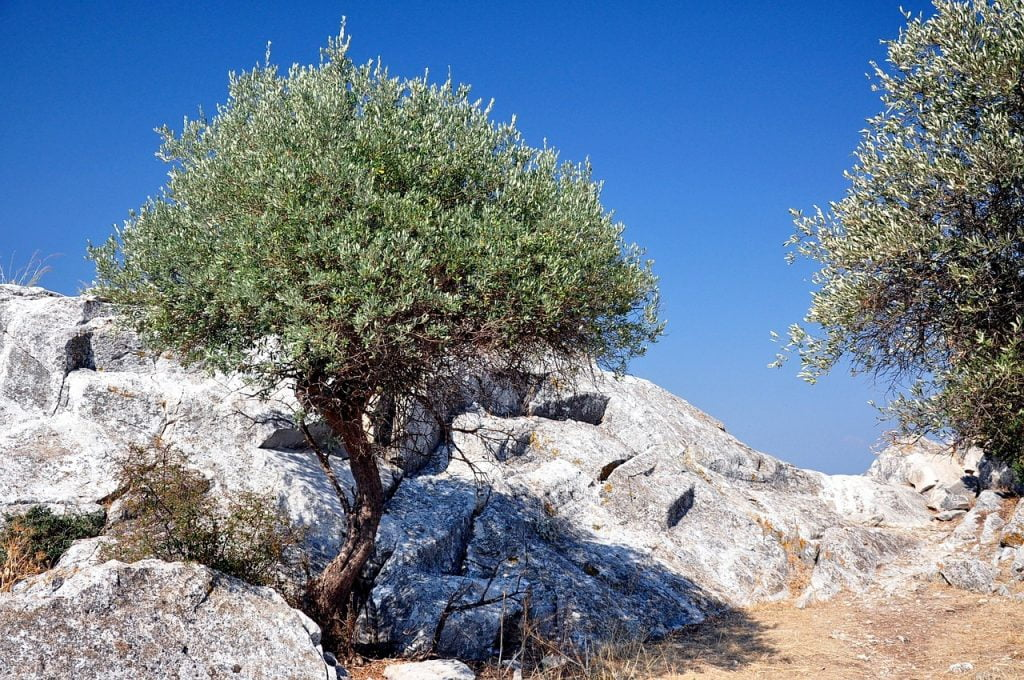 Olive tree in Thassos island Greece