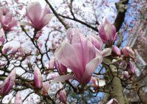 Londra fa rima con magnolia