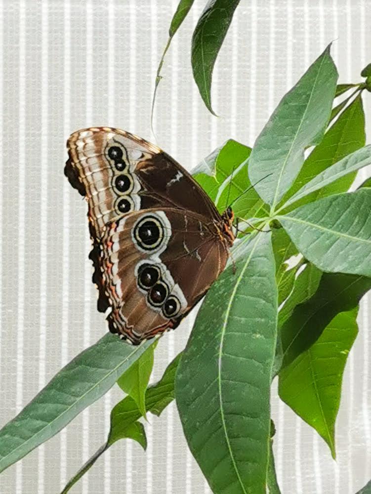 Farfalla oasi rossi di Santorso